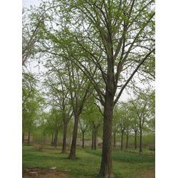 江苏绿化银杏树、绿化银杏树、春芝园银杏图片