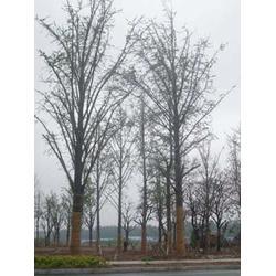 银杏树基地、四川银杏树基地、春芝园银杏图片