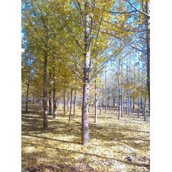 最近银杏树报价、春芝园银杏、银杏树报价图片