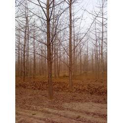银杏树,低价处理银杏树,老百姓银杏树苗圃场图片