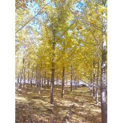 银杏树,江苏银杏树苗圃场,春芝园银杏图片