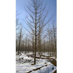 冬季绿化银杏树-春芝园银杏-绿化银杏树图片