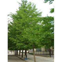 【15公分银杏树】|15公分银杏树|明富银杏图片
