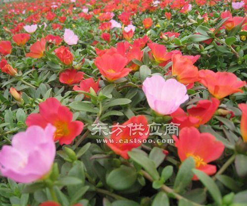 卉源花卉、宿根花卉种植、昌邑宿根花卉图片