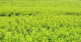 绿化苗木,枣庄绿化苗木,卉源花卉图片