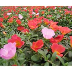 宿根花卉销售、保定宿根花卉、卉源花卉图片