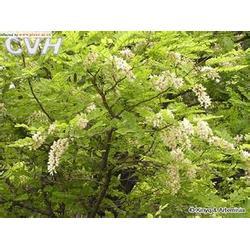 【绿化苗木】、潍坊绿化苗木、卉源花卉图片