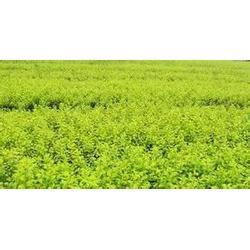 【濮阳绿化苗木】、供应绿化苗木、卉源花卉图片