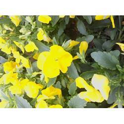 宿根花卉,蛟河 宿根花卉,卉源花卉图片
