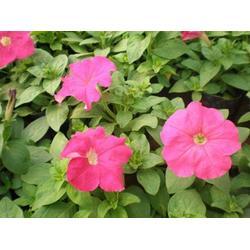 潍坊宿根花卉、卉源花卉、宿根花卉种类图片