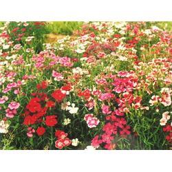 宿根花卉品种 寿光宿根花卉 卉源花卉图片