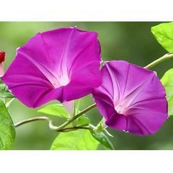 丰林宿根花卉(图),草花生产基地,莱芜草花图片