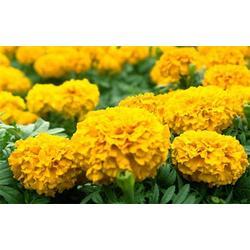 万寿菊|丰林宿根花卉(已认证)|青岛万寿菊图片