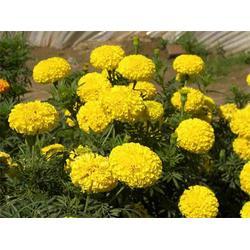 丰林宿根花卉(图)|购买万寿菊|临沂万寿菊图片