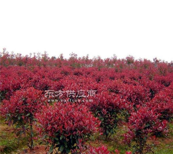 滁州红花继木球 红花继木球 丰华苗木图片图片