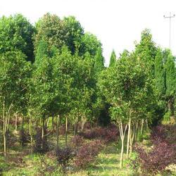 18公分朴树、丰华苗木、18公分朴树图片