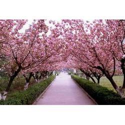 汇枫园林(图),樱花货到付款,樱花图片