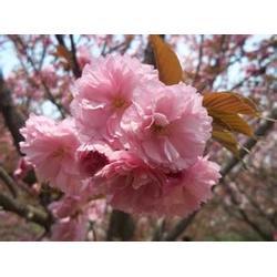 汇枫园林(图)_各种规格樱花树最低价_樱花树图片