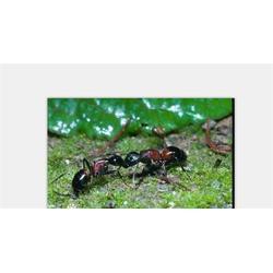 保格利控虫灭蟑螂 如何除白蚁-南昌白蚁图片