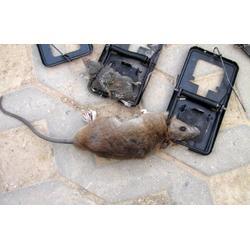 什么办法灭老鼠-保格利超市灭老鼠费用-永新县灭老鼠图片