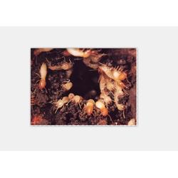 南昌白蚁| 保格利杀白蚁资质全|如何除白蚁图片