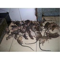 保格利杀虫杀白蚁报价、婺源县杀白蚁、如何灭杀白蚁图片
