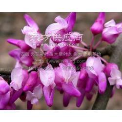 大紫叶紫荆彩叶苗图片