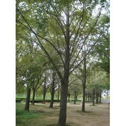20公分银杏树_米径20公分银杏树_四方缘银杏图片
