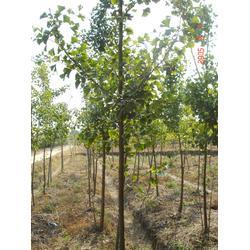 实生银杏树、22公分实生银杏树、四方缘银杏图片