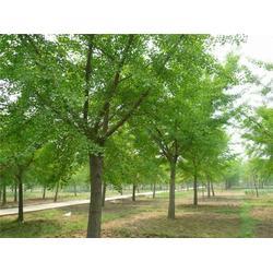 白果树-安徽白果树-四方缘银杏图片