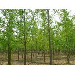 25公分银杏树,山东25公分银杏树,四方缘银杏图片