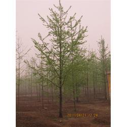 (银杏树)12公分银杏树-四方缘银杏图片
