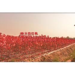 华艺园林(图),红枫苗木求购信息,红枫苗图片