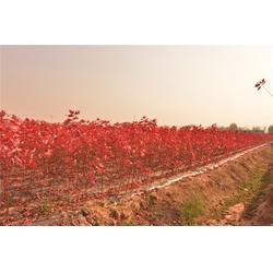华艺园林(图),美国红枫小苗,美国红枫小苗图片
