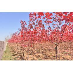 华艺园林(图) 红枫树苗热销中 红枫苗图片