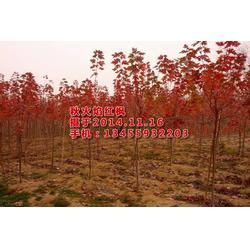 美国红枫树苗绿化 华艺园林(已认证) 湖南美国红枫树苗图片