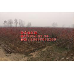 华艺园林(图)_枫_红枫树图片