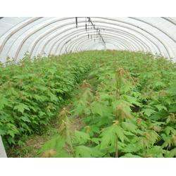 红点红枫厂家种植基地、华艺园林、红点红枫厂家图片
