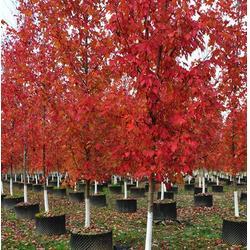 浙江改良红枫,华艺园林,优质改良红枫树苗图片