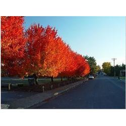 优质秋火焰红枫树苗,华艺园林,秋火焰红枫树苗图片