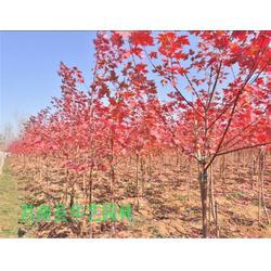 华艺园林(图),最新美国红枫小苗报价,美国红枫小苗图片