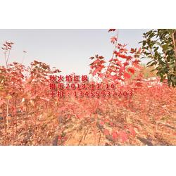 华艺园林(图)、红枫小苗、莱西市红枫小苗图片