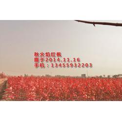 华艺园林(图)|美国红枫扦插小苗|平邑美国红枫图片
