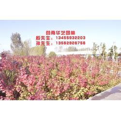 专业种植秋红枫树苗|华艺园林|秋红枫树苗图片
