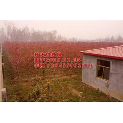 纯正秋红枫树苗基地、华艺园林(在线咨询)、秋红枫树苗图片