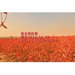 红枫树苗,华艺园林(在线咨询),内蒙古红枫树苗图片