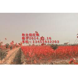 华艺园林(图)|美国红枫树苗好卖吗|吉林美国红枫树苗图片