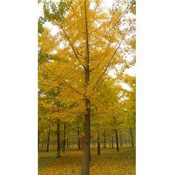 银杏|40公分银杏|苏鲁齐健园林图片