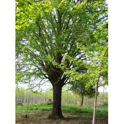 白果树,白果树的主要价值,苏鲁齐健园林图片