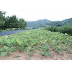 绿湖苗木(图)|日本厚朴大小苗|日本厚朴大小苗图片